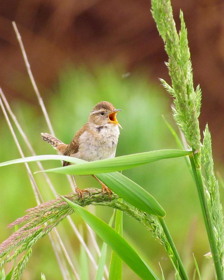 Songbirds Photograph - Singing For A Companion by Iina Van Lawick