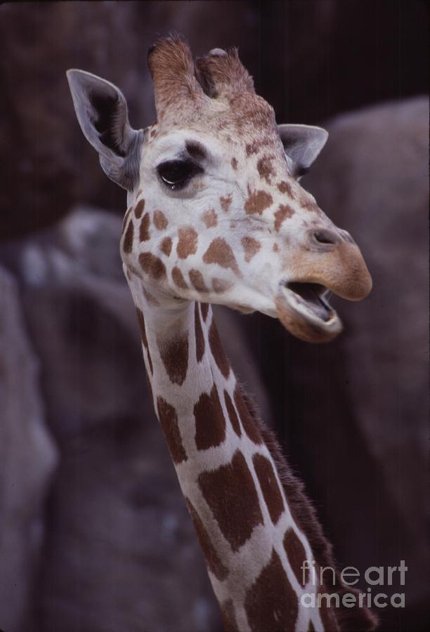 Giraffe Photograph - Singing Giraffe by Anna Lisa Yoder