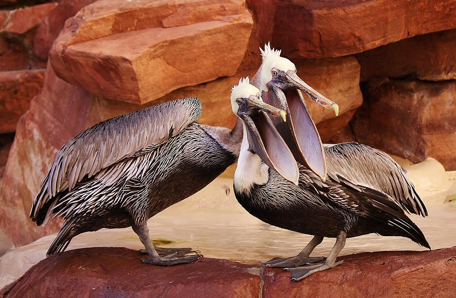 Pelican Photograph - Singing In Perfect Harmony by Paulette Thomas