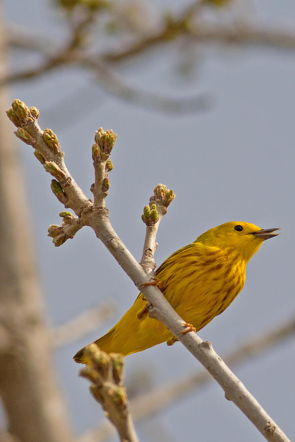 Yellow Warbler Photograph - Singing Yellow Warbler by Natural Focal Point Photography