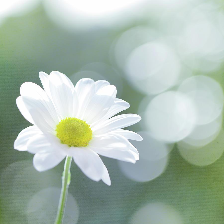 Single Chrysanthemum Photograph by Peter Chadwick Lrps