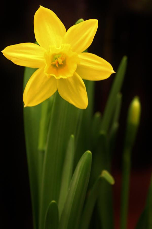 Single Daffodil Photograph By Bruce Bley