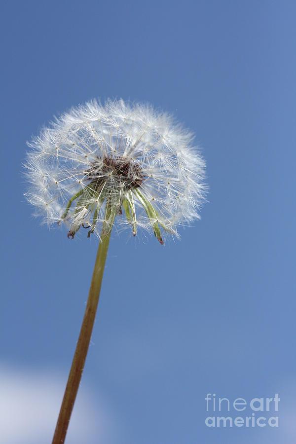 Dandelion Photograph - Single Dandelion by Rachel Duchesne