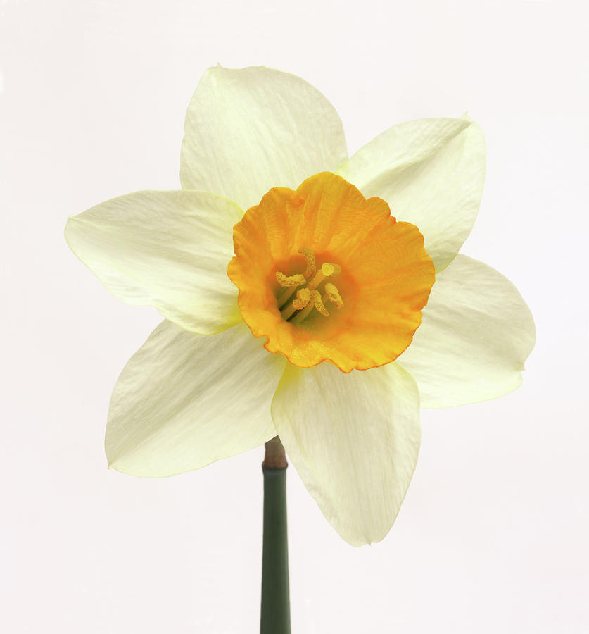 Single Fresh White Daffodil With Yellow Photograph by Rosemary Calvert