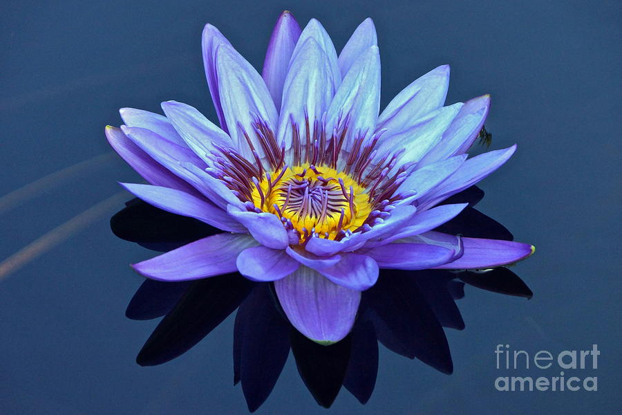 Nymphaea Photograph - Single Lavender Water Lily by Byron Varvarigos