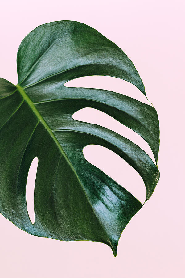 Single leaf of Monstera deliciosa palm plant on pink background Photograph by TorriPhoto