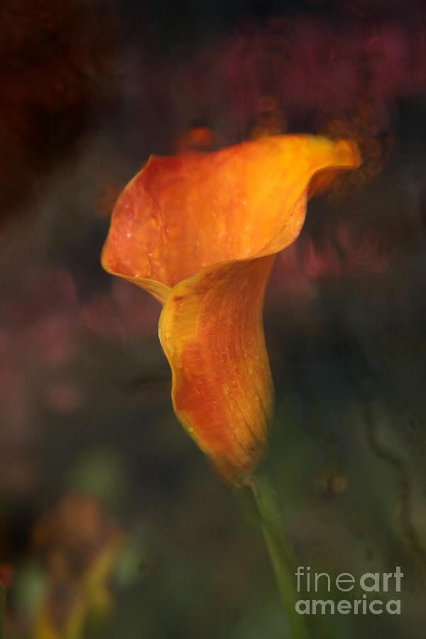 Orange Photograph - Single Orange Cala by Jennifer Apffel