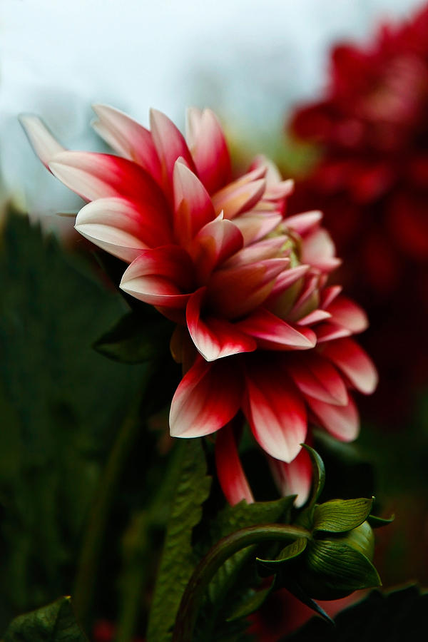 Dahlia Photograph - Single Red Dahlia by Athena Mckinzie