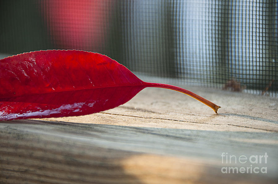 Single Photograph - Single Red Leaf by Terry Rowe