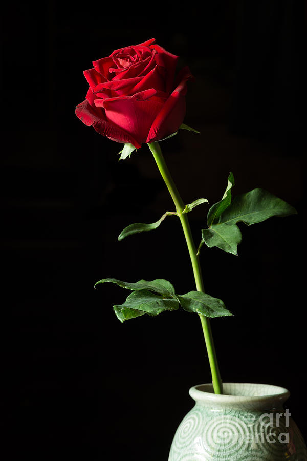 single red rose in vase isolated on black photograph by
