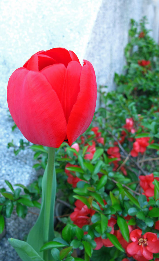 Floral Photograph - Single Red Tulip by Barbara McDevitt