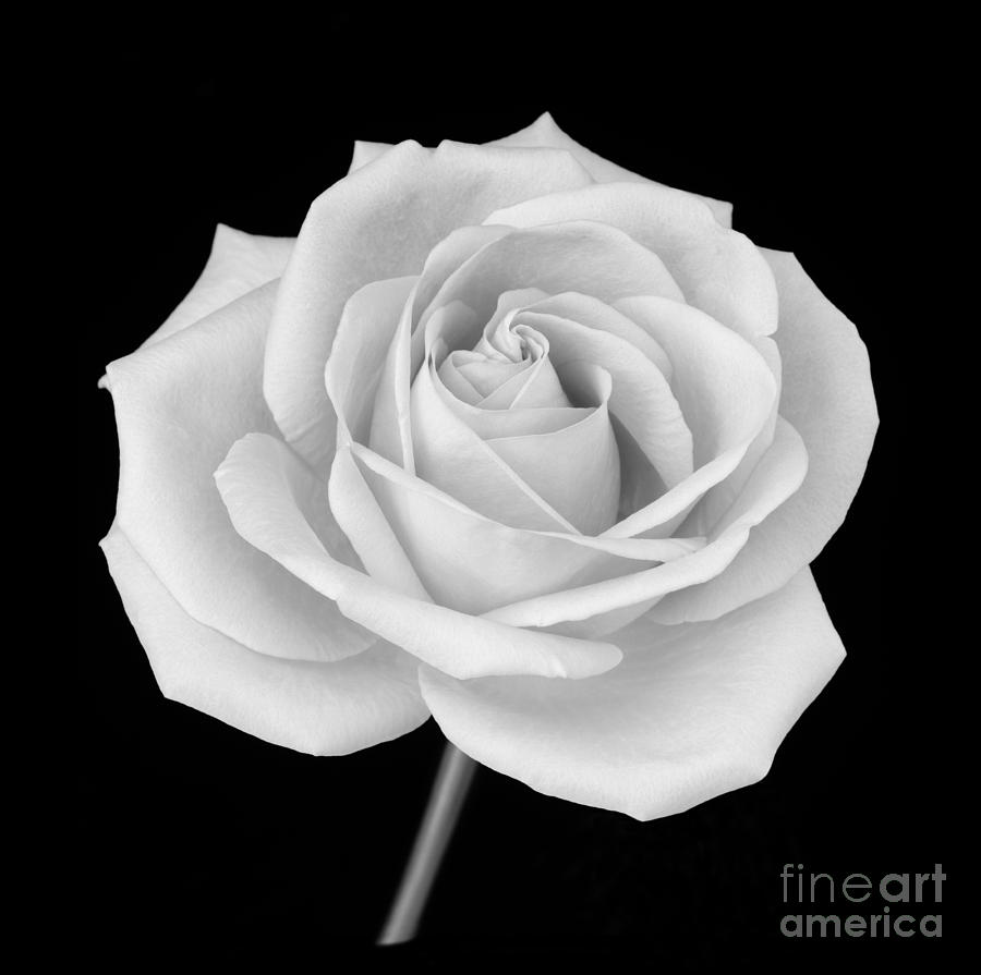 Single rose in black and white photograph by rosemary calvert