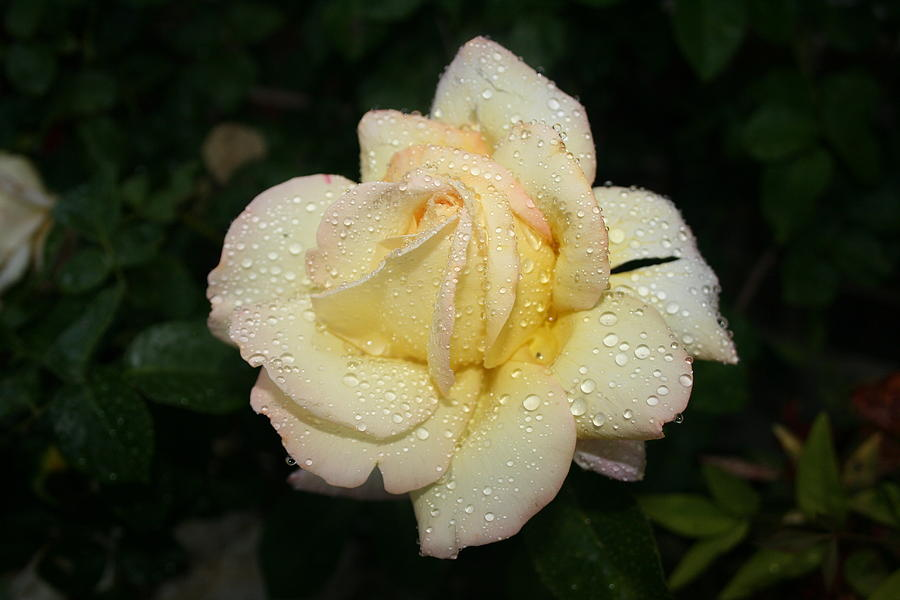 Rose Photograph - After The Rain by Paulette Maffucci