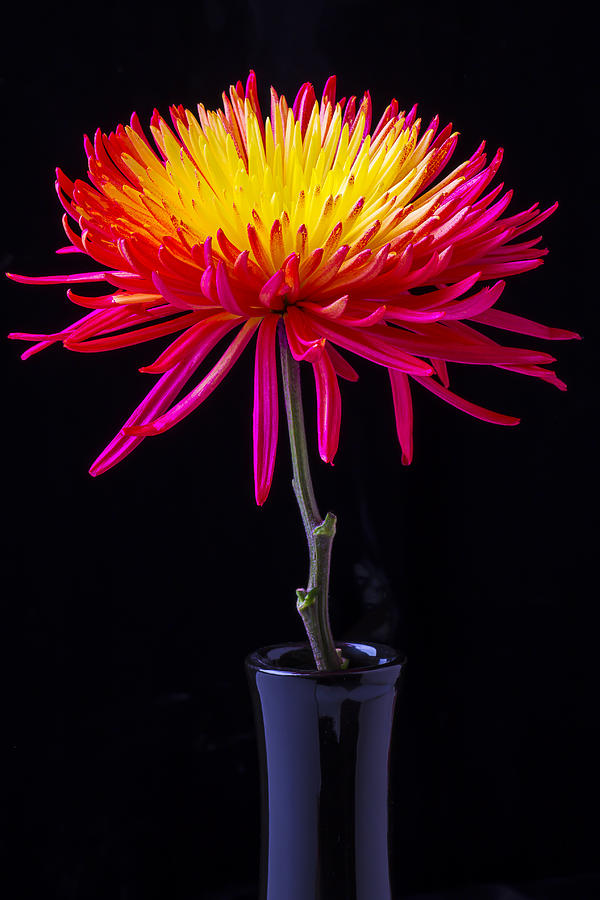 Single Photograph - Single Spider Mum by Garry Gay