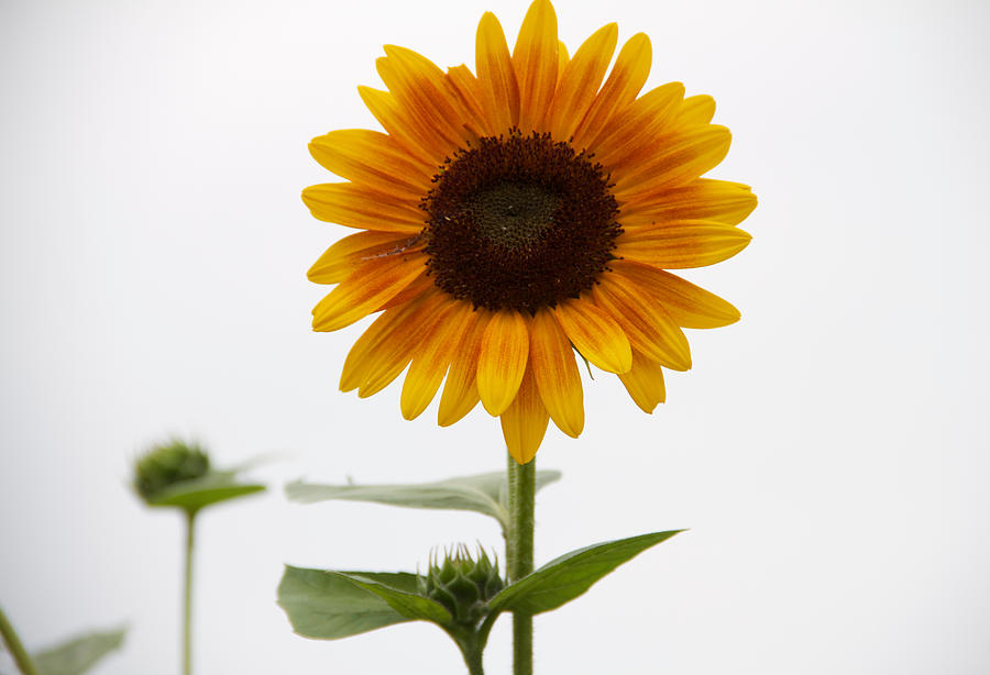 single sunflower photograph by alice gipson, Beautiful flower