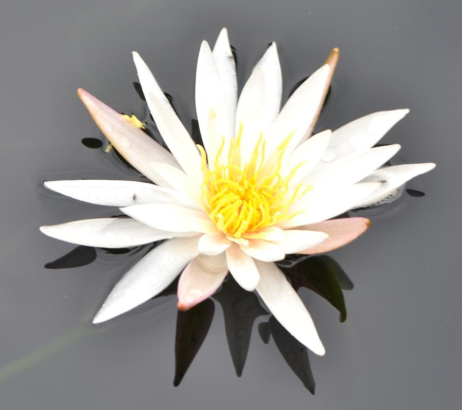 Single white flower photograph by molly montgomery water flower photograph single white flower by molly montgomery mightylinksfo
