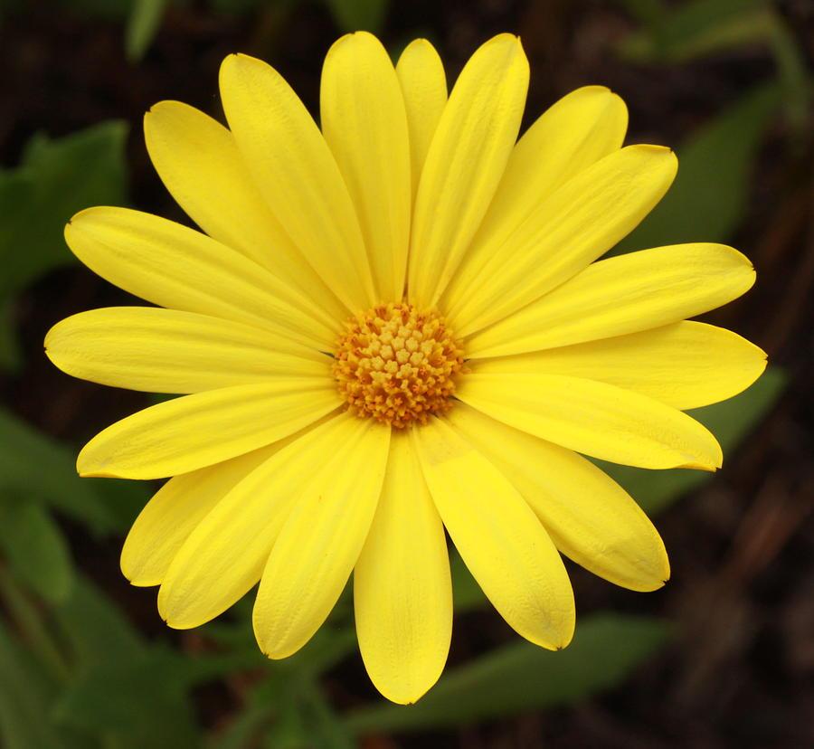 Single yellow daisy like flower up close photograph by kathy laberge flower photograph single yellow daisy like flower up close by kathy laberge mightylinksfo