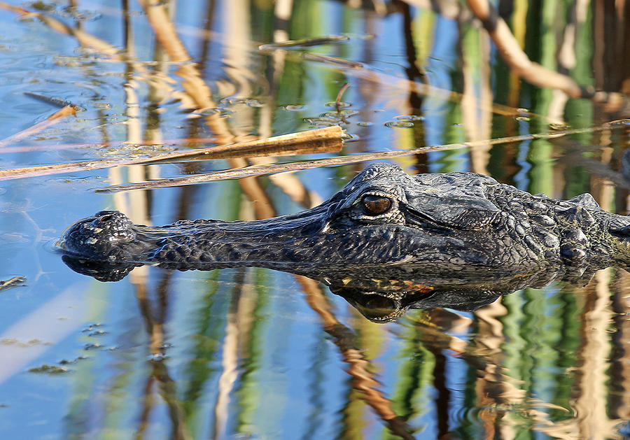 Alligator Photograph - Sinister by Juergen Roth