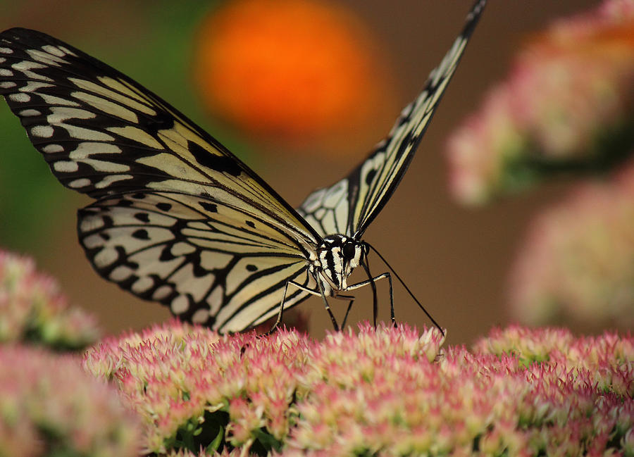 Butterfly Photograph - Sip Of The Nectar by Randy Hall