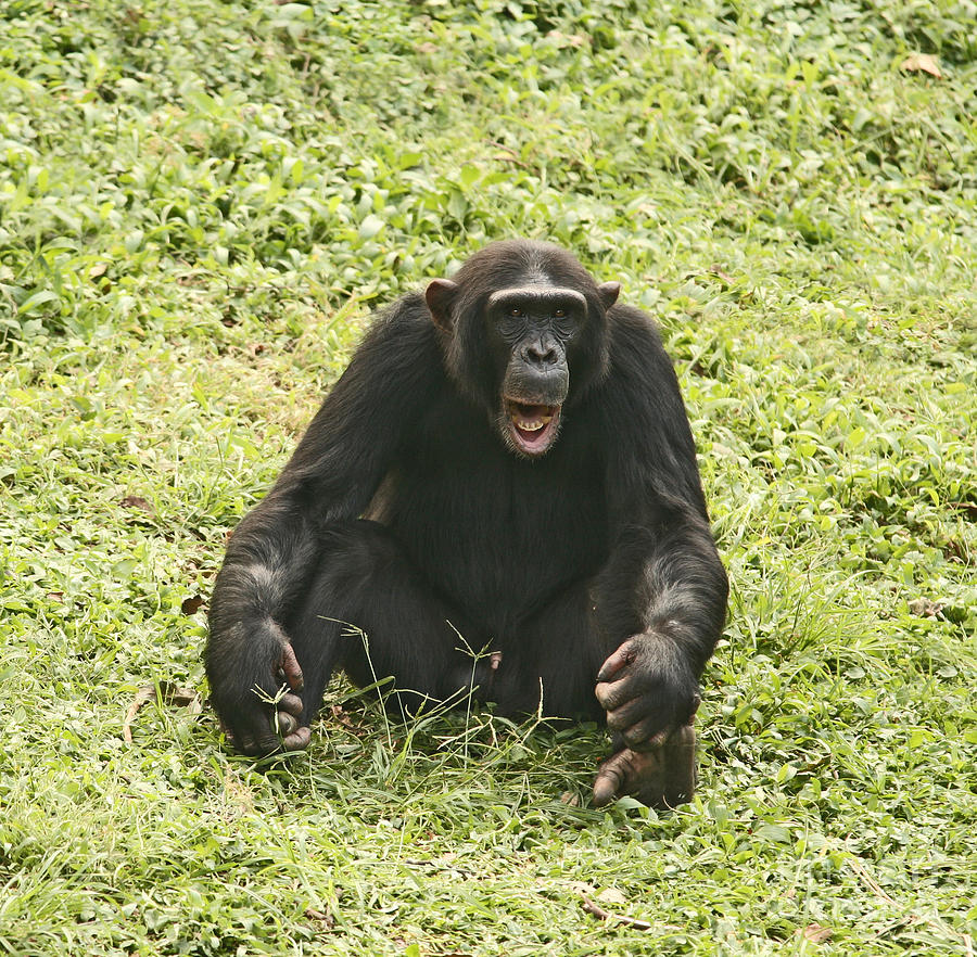 Chimpanzee Stock Photos and Pictures | Getty Images  |Chimp Sitting
