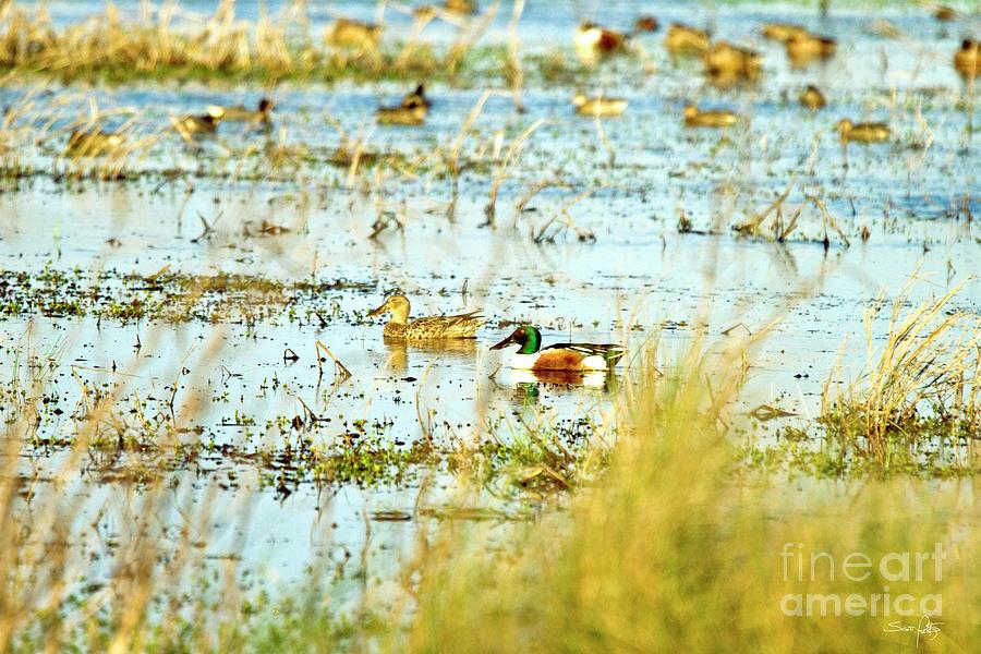 Shoveler Photograph - Sitting Ducks by Scott Pellegrin