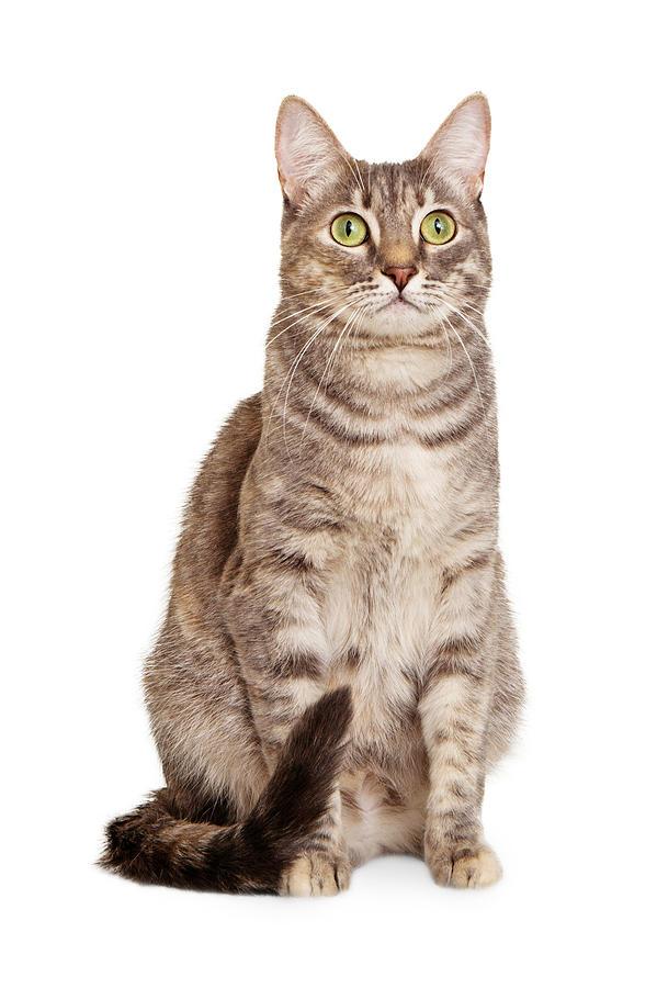 Cat Photograph - Sitting Gray Tabby Cat by Susan Schmitz