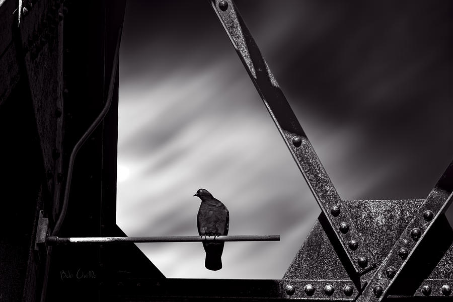 Pigeon Photograph - Sitting On A Stick by Bob Orsillo