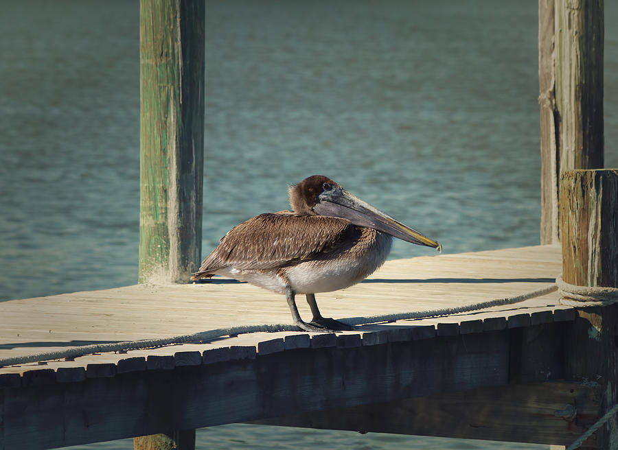 Pelican Photograph - Sitting On The Dock Of The Bay by Kim Hojnacki