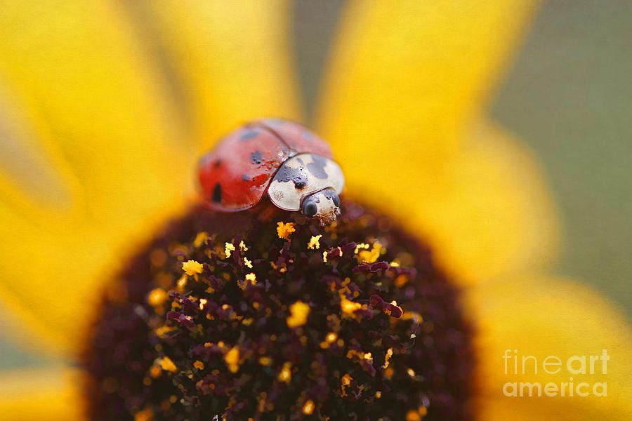 Black Eyed Susan Photograph - Sitting Pretty by Darren Fisher