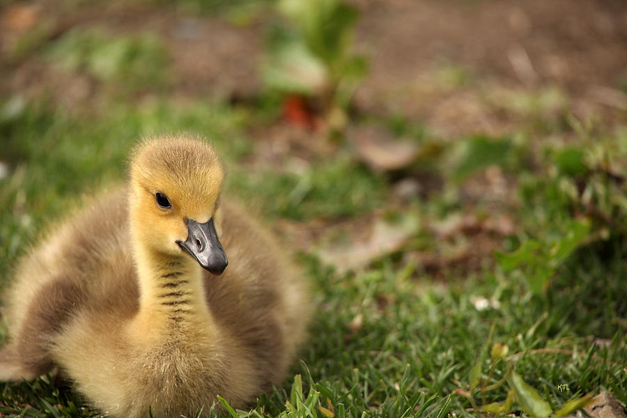Baby Goose Photograph - Sitting Pretty by Karol Livote