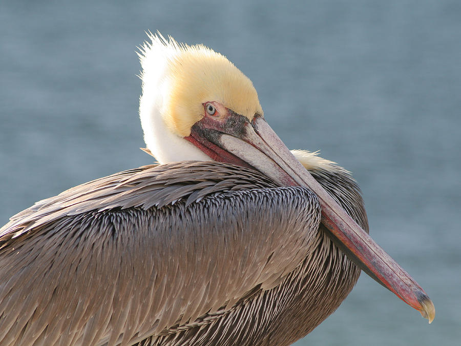 Brown Pelican Photograph - Sitting Pretty Pelican by Bob and Jan Shriner