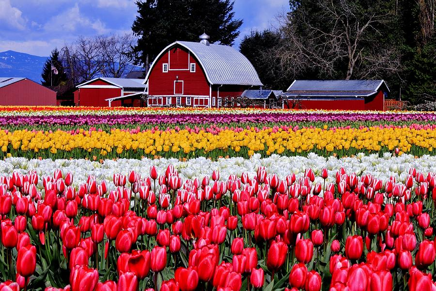 Tulips Photograph - Skagit Valley by Benjamin Yeager
