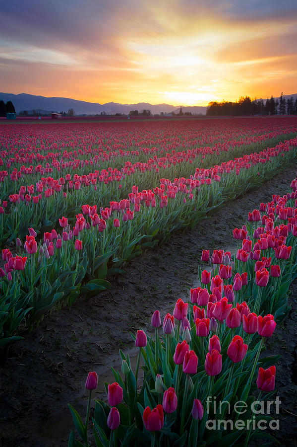 America Photograph - Skagit Valley Blazing Sunrise by Inge Johnsson