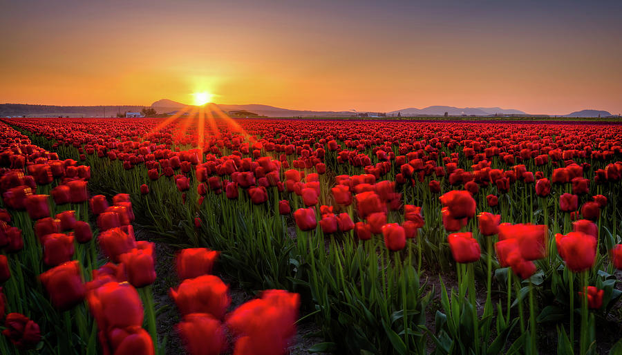 Skagit Valley Tulip Fields Photograph by Alexis Birkill