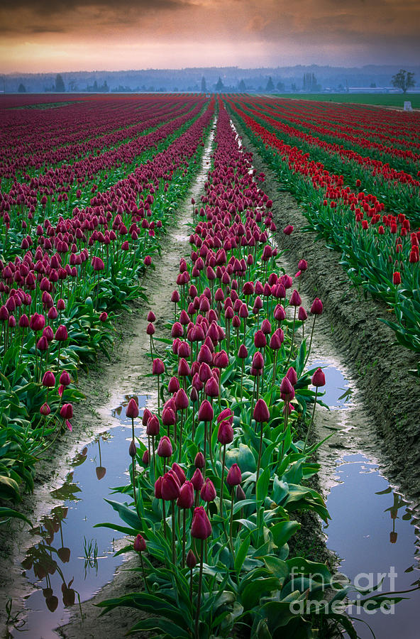 America Photograph - Skagit Valley Tulips by Inge Johnsson