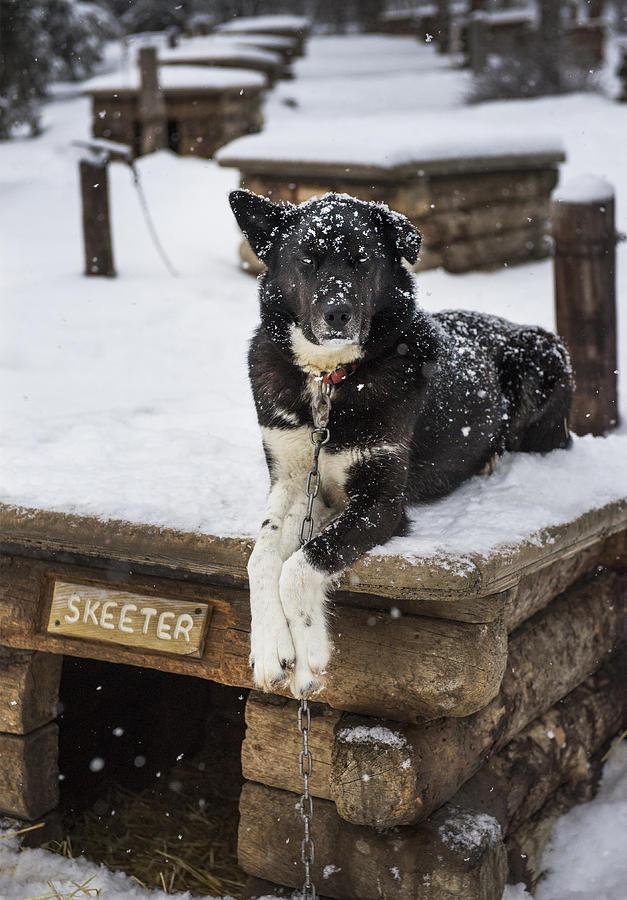 Skeeter Photograph - Skeeter The Sled Dog  by Pam  Elliott