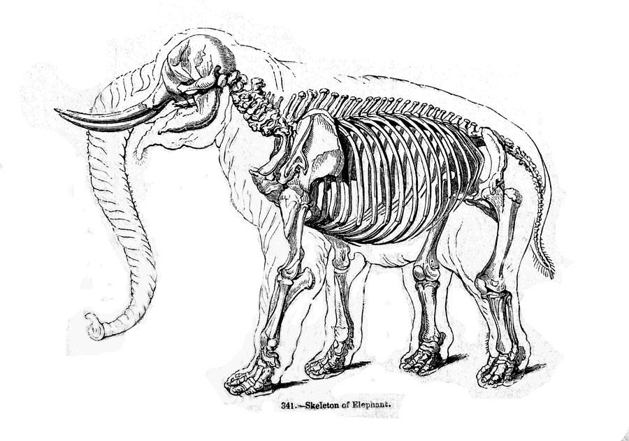 Skeleton Anatomy Of An Elephant Drawing By Michael Dohnalek