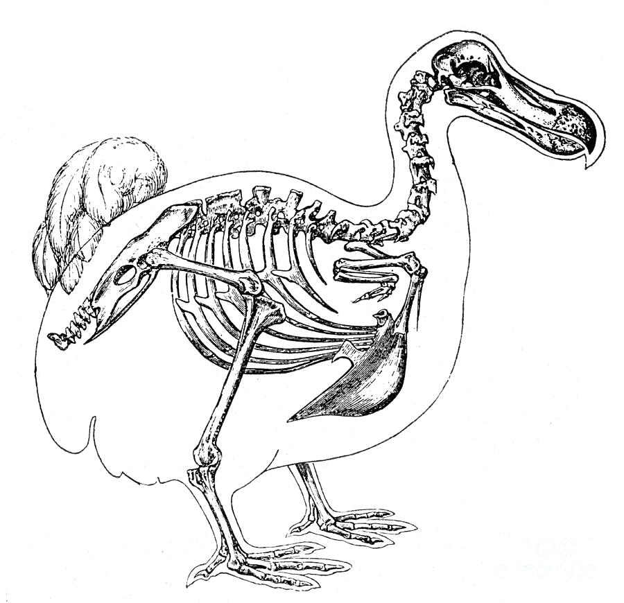 Skeleton And Outline Of Dodo Bird Photograph By Science Source