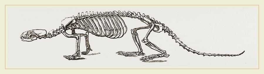 Skeleton Of European River Otter Drawing By Litz Collection