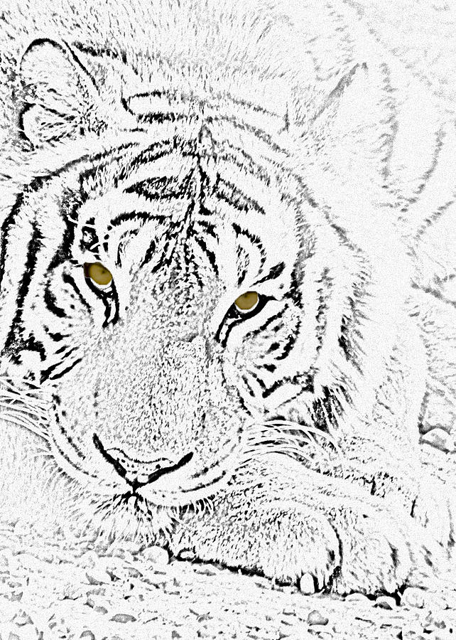 Tiger Photograph - Sketch With Golden Eyes by Crystal Heitzman Renskers