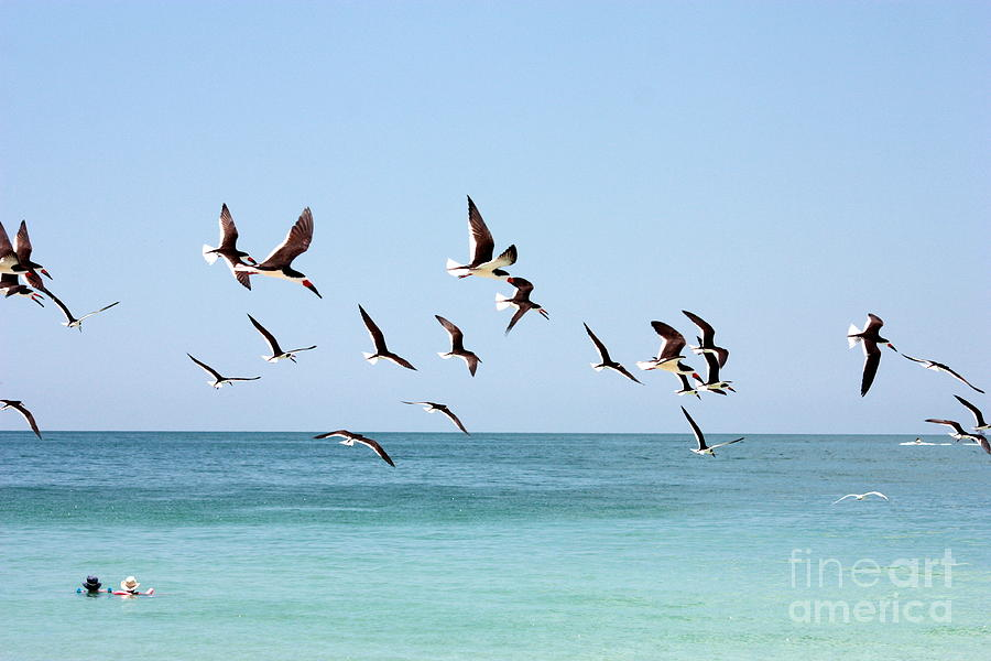 Coastal Birds Photograph - Skimmers And Swimmers by Carol Groenen