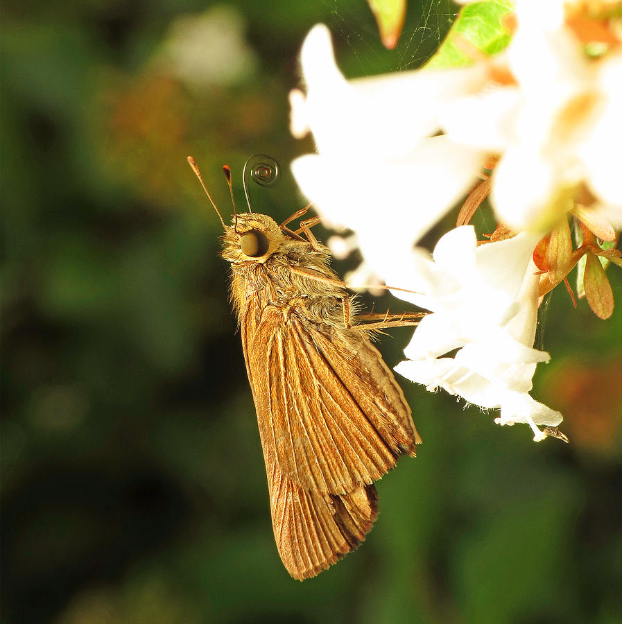Butterfly Photograph - Skipper Butterfly Two by Walter Klockers