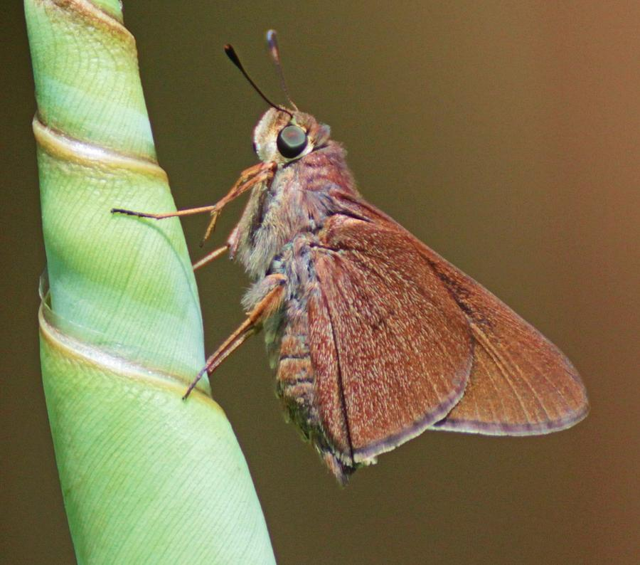 Skipper Butterful Photograph by Dart and Suze Humeston