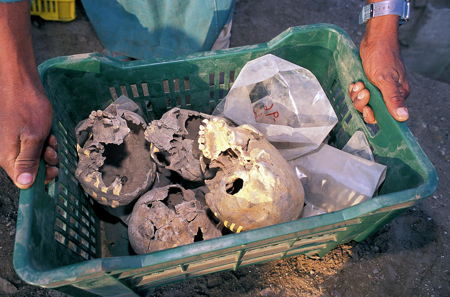 Bone Photograph - Skulls Excavated From Al-fustat by Pascal Goetgheluck/science Photo Library