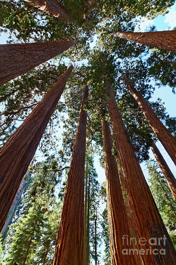 Big Photograph - Skyscrapers - A Grove Of Giant Sequoia Trees In Sequoia National Park In California by Jamie Pham