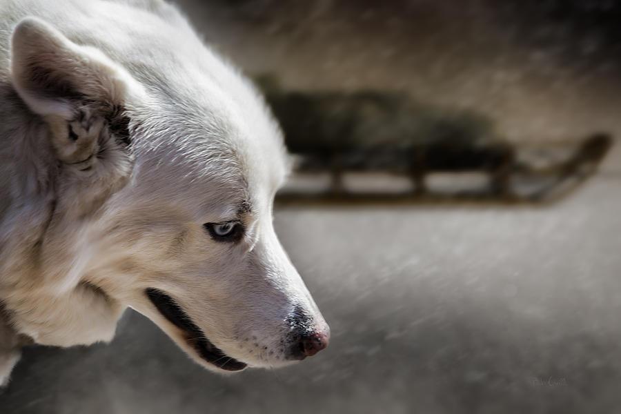 Sled Dog Photograph - Sled Dog by Bob Orsillo