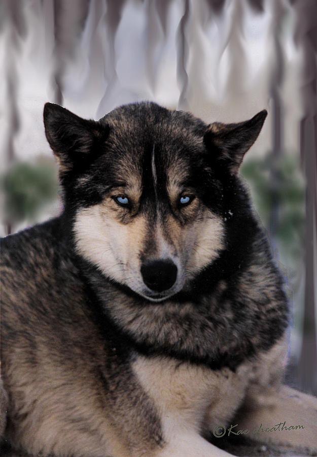 Sled Dog Photograph - Sled Dog Resting by Kae Cheatham