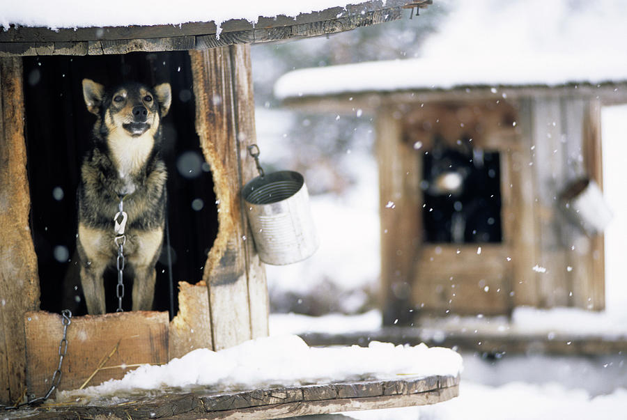 Cold Photograph - Sled Dogs Rest In Their Kennels by Jeff Diener
