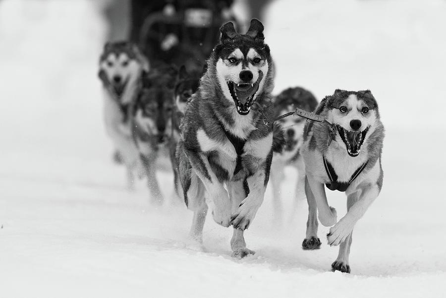 Dog Photograph - Sleddog Fun by Karen Kolbeck
