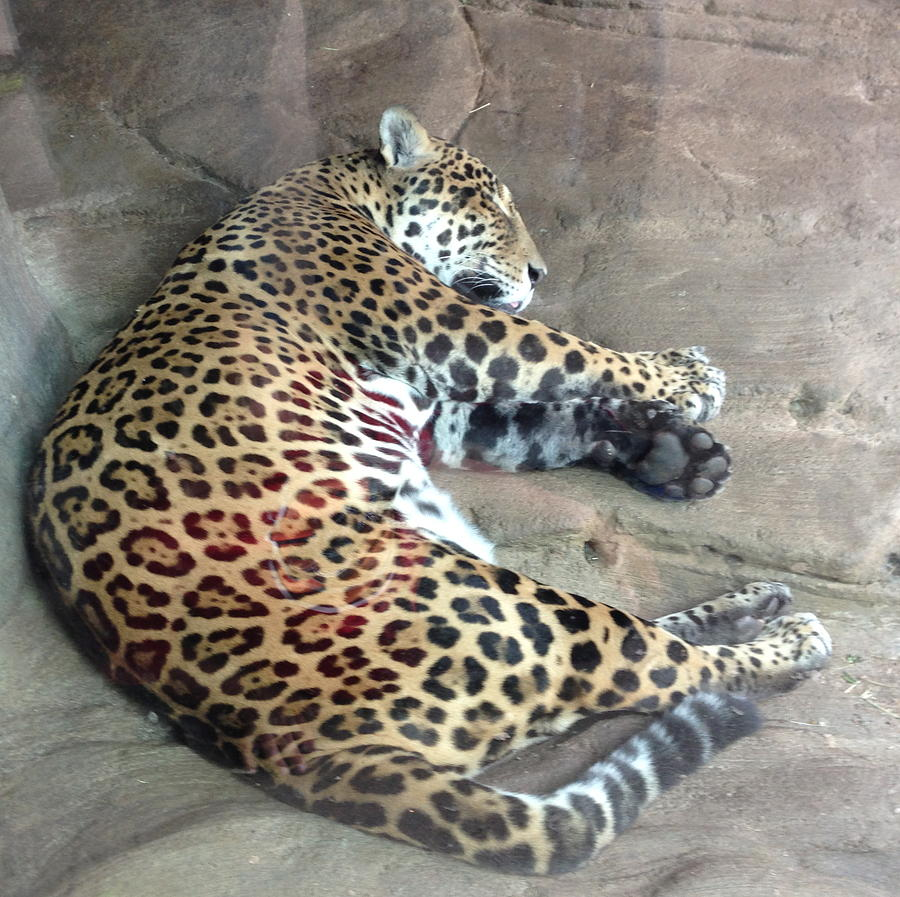 Jaguar Photograph - Sleep Time Jaguar by Gary Govett